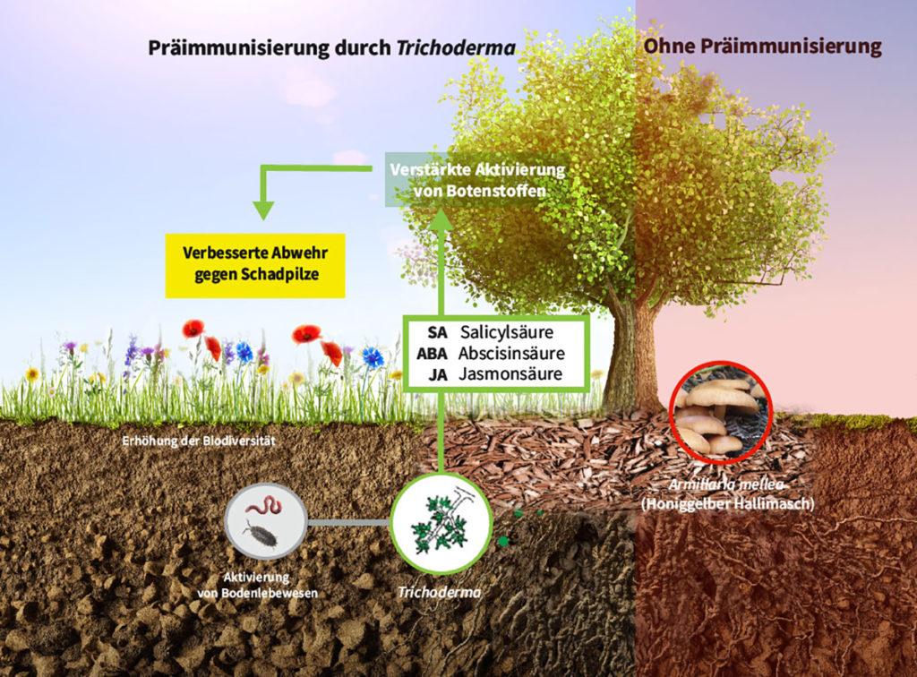 Trichoderma – Präimmunisierung am Beispiel Baum