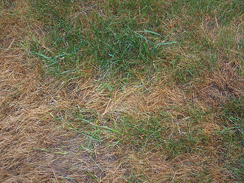 Fusarium im Rasen