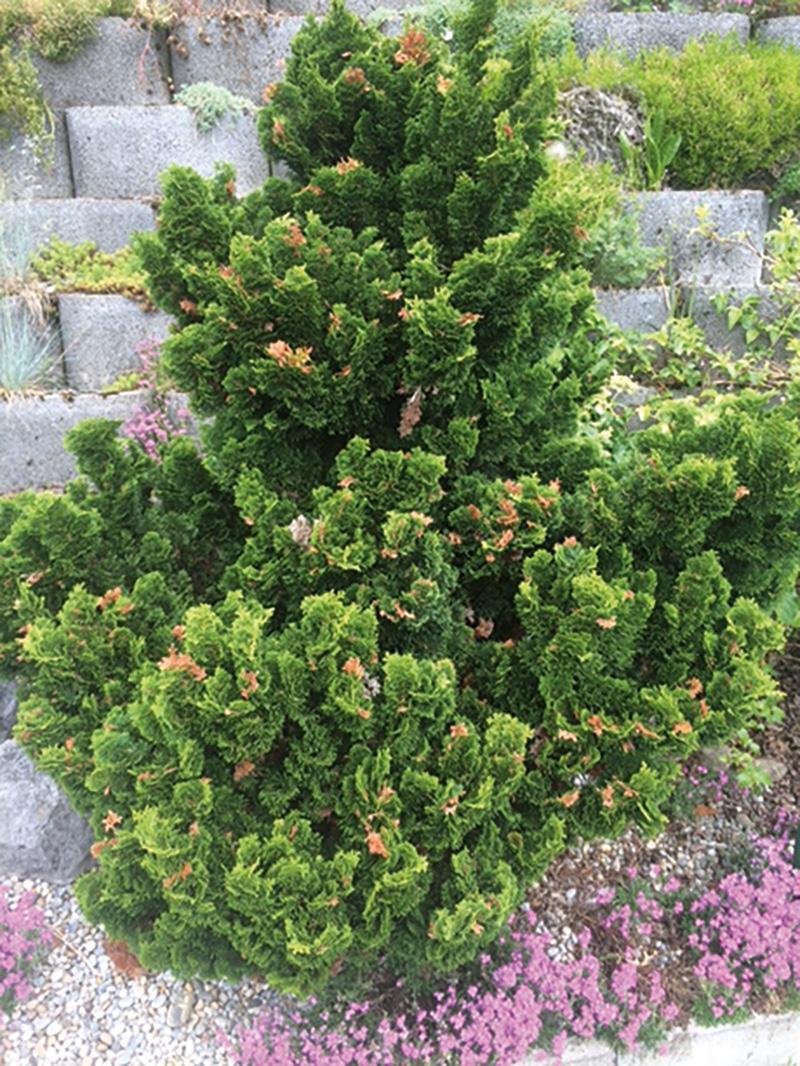Pestalothia an Muschelscheinzypresse