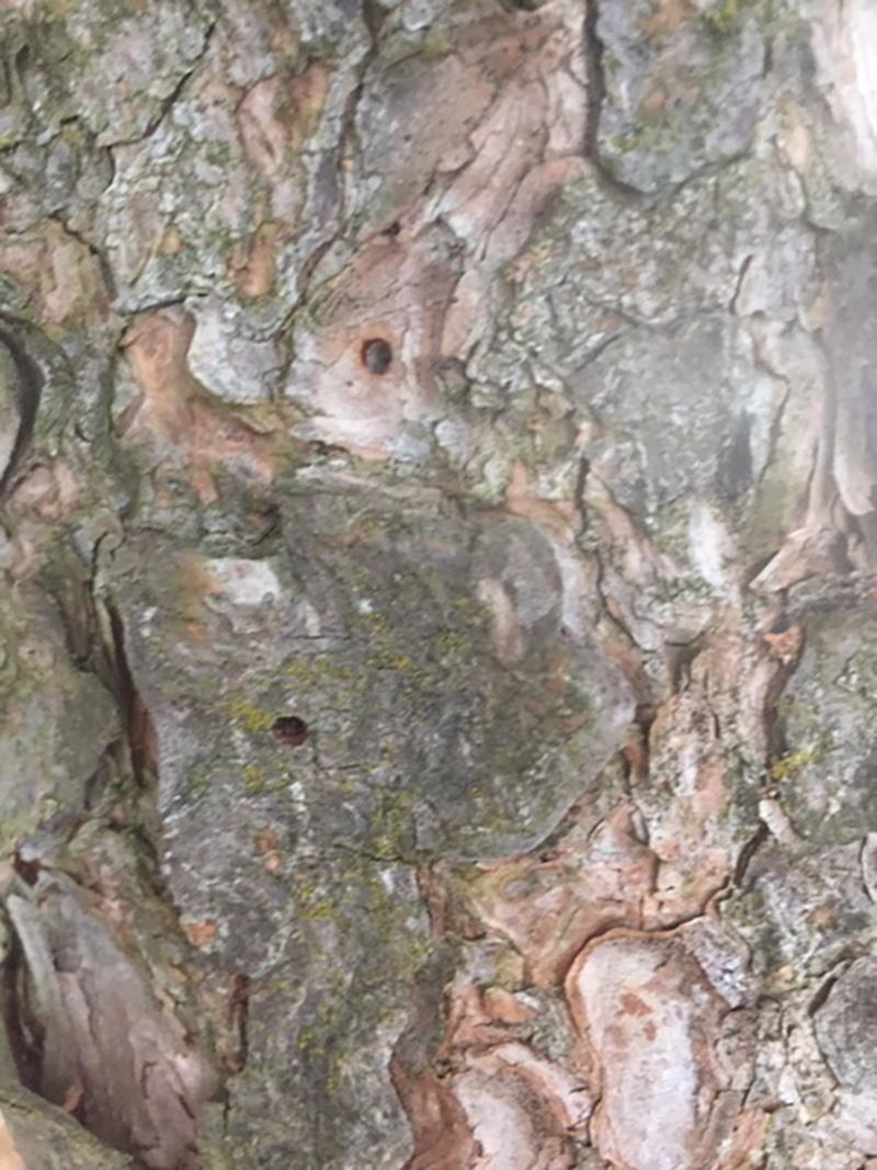 Borkenkäfer an Föhre