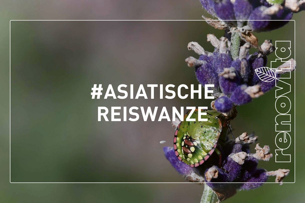 Asiatische_Reiswanze