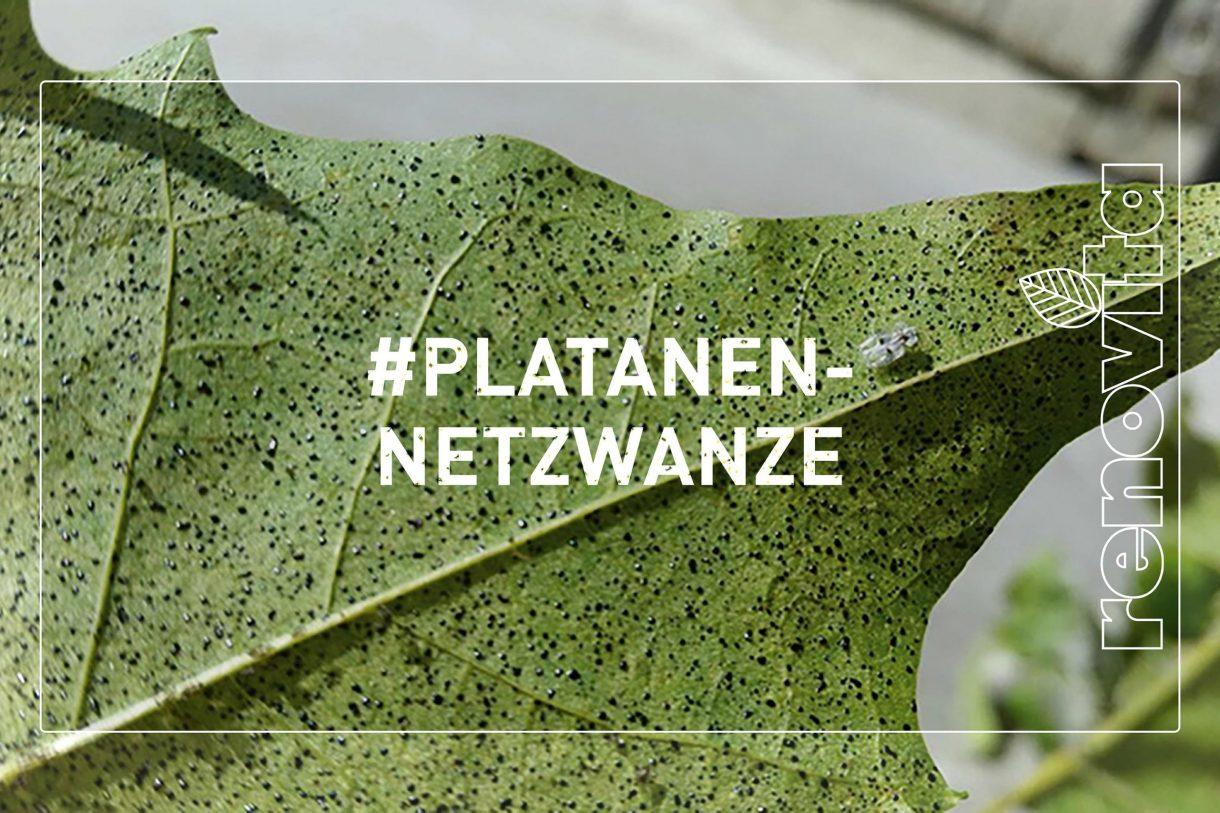 Platanennetzwanze