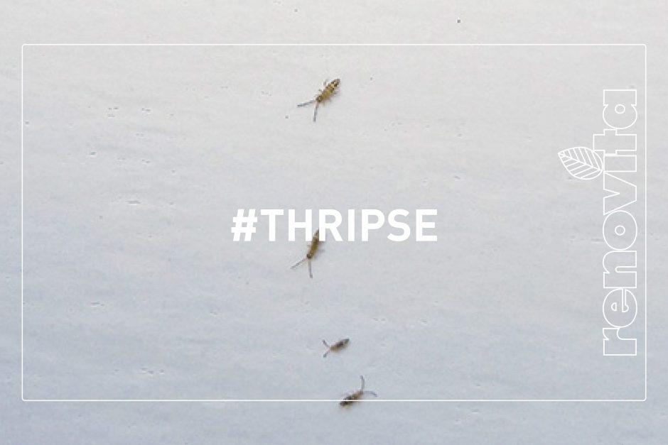 Thripse