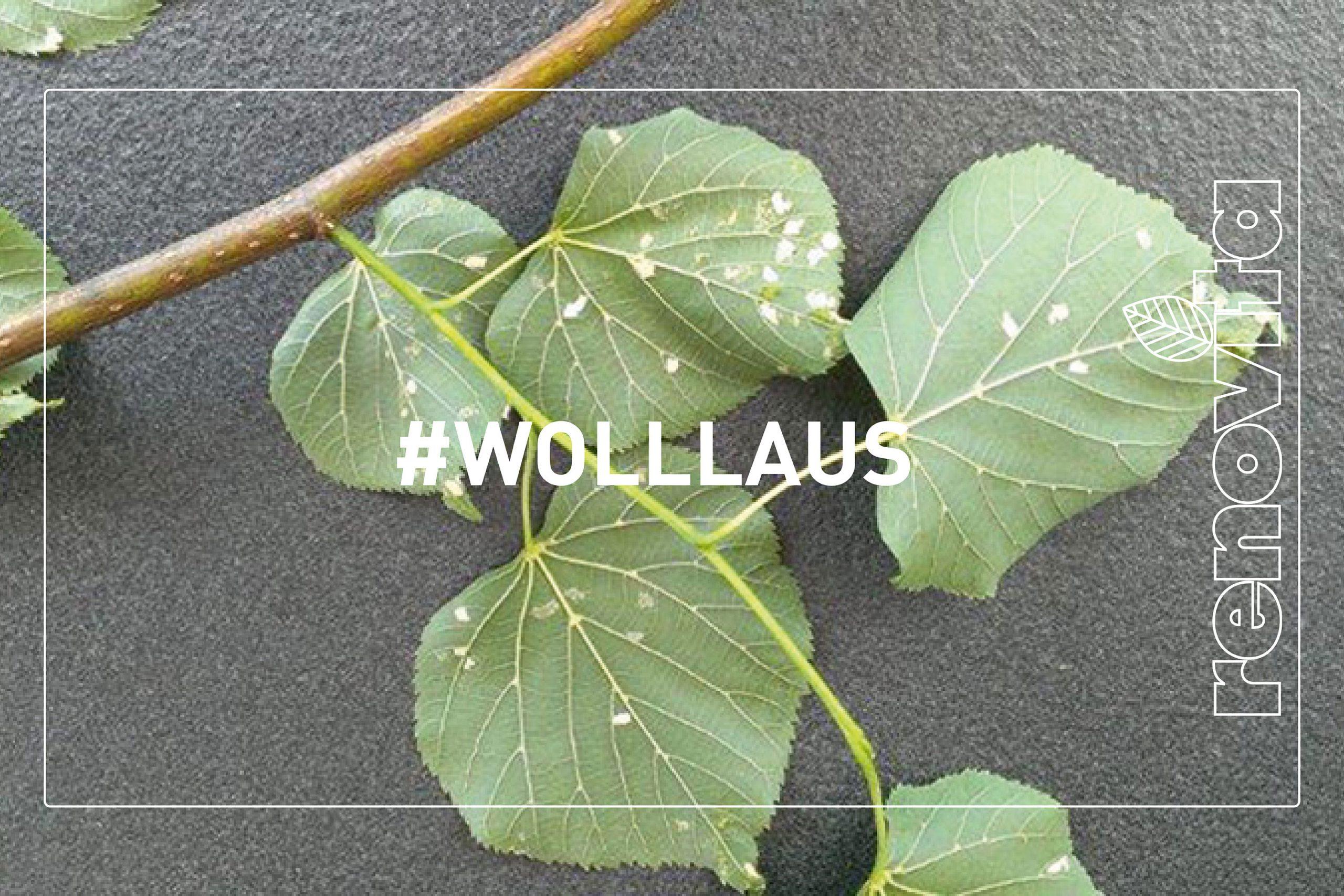 Wolllaus
