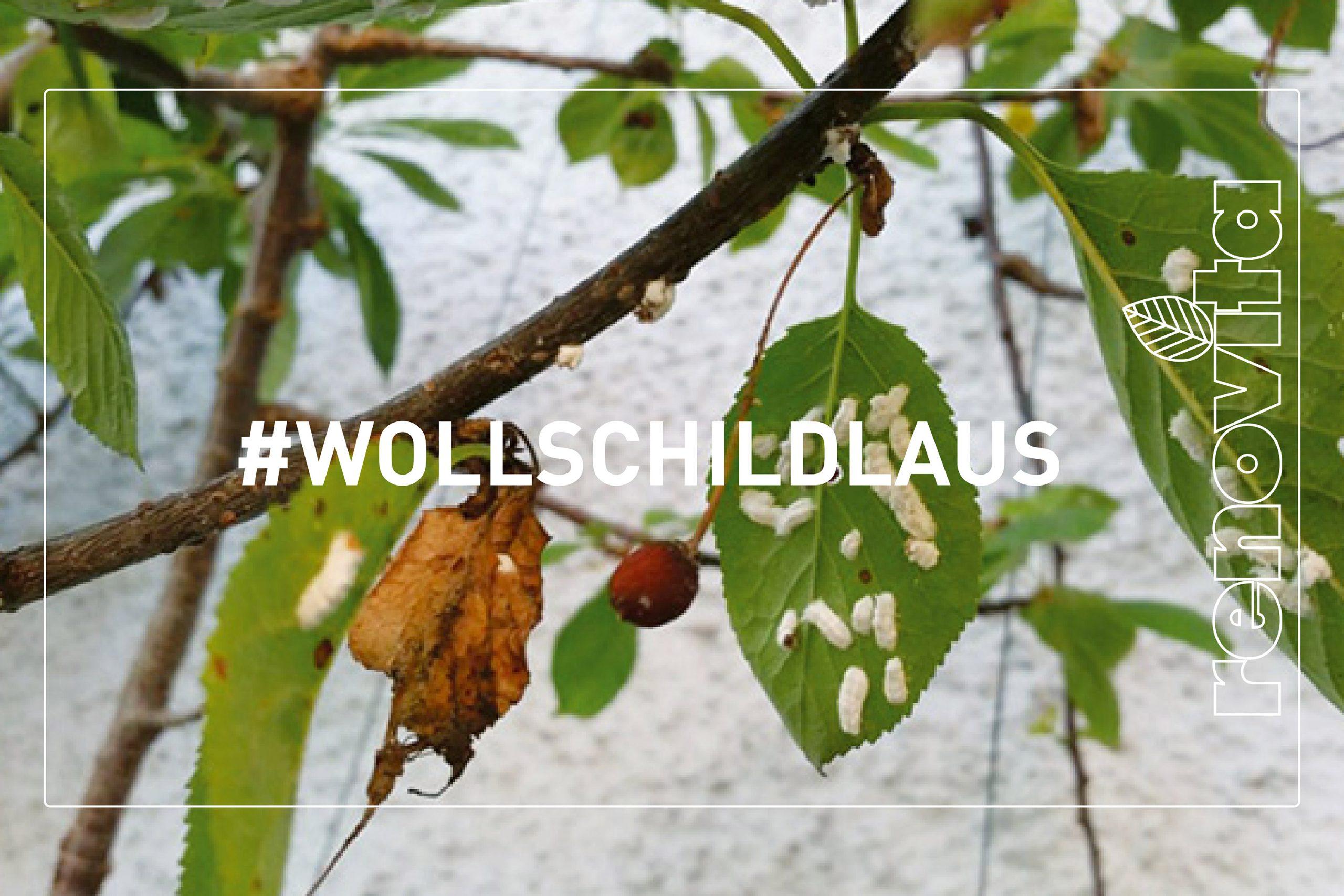 Wollschildlaus