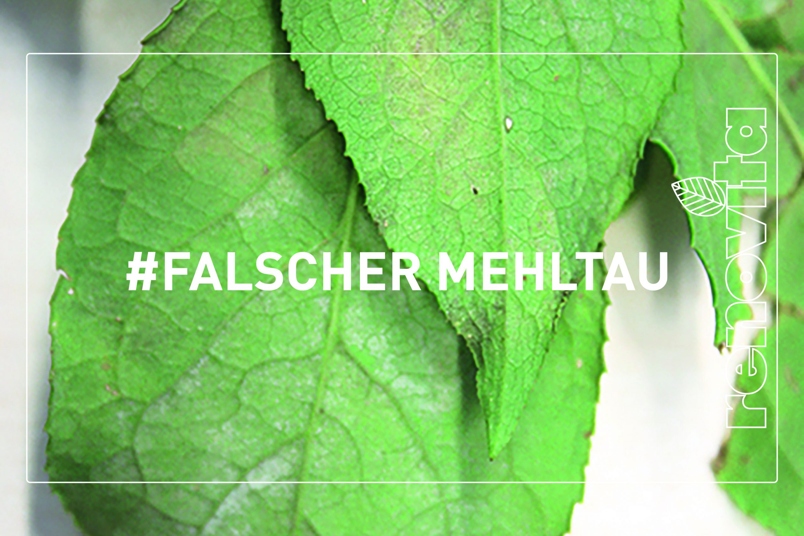 Falscher Mehltau